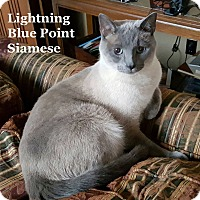 Adopt A Pet :: Lightning - Bentonville, AR