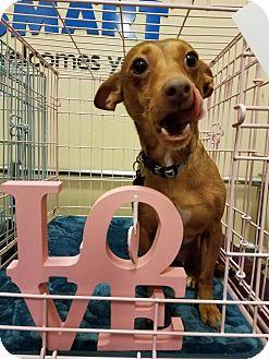 Chihuahua Mix Dog for adoption in Philadelphia, Pennsylvania - Athena
