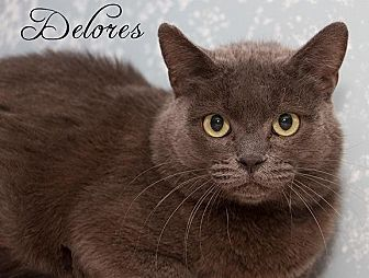 Domestic Shorthair Cat for adoption in Fall River, Massachusetts - DELORES