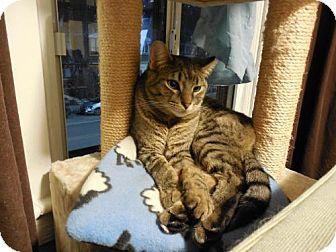 Domestic Shorthair Cat for adoption in Toronto, Ontario - Bruce Willis