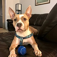 American Bulldog/Terrier (Unknown Type, Medium) Mix Dog for adoption in Miami, Florida - Marge