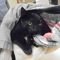 Domestic Mediumhair Kitten for adoption in Upland, California - CHESTER