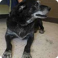 Labrador Retriever Dog for adoption in Ft Myers Beach, Florida - Old lady in URGENT NEED!!