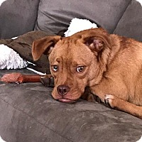 Labrador Retriever Mix Dog for adoption in Fargo, North Dakota - Scrappy