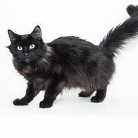 Domestic Mediumhair/Domestic Shorthair Mix Cat for adoption in Dayton, Ohio - Anise