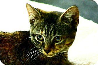 Domestic Shorthair Kitten for adoption in Durham, North Carolina - Linnea