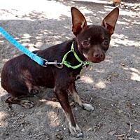 Adopt A Pet :: Aster - Seal Beach, CA