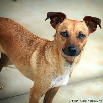 Chihuahua/Dachshund Mix Dog for adoption in Barnesville, Georgia - Pumba