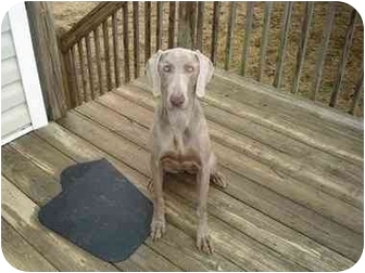 Weimaraner Dog for adoption in Marietta, Georgia - Callie