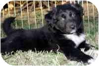 Border Collie/Corgi Mix Puppy for adoption in Carrollton, Texas - Rocky