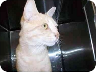 Domestic Shorthair Cat for adoption in New Port Richey, Florida - Jack
