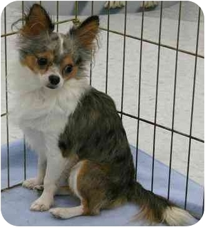 Chihuahua Dog for adoption in House Springs, Missouri - Kyle