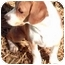 Photo 2 - Beagle Mix Puppy for adoption in Osseo, Minnesota - Barney