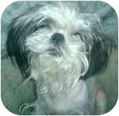 Shih Tzu Dog for adoption in Long Beach, New York - Becky
