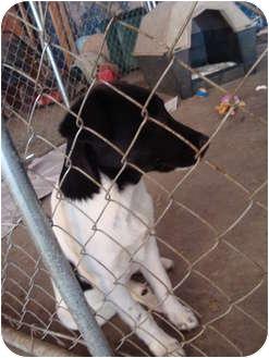 Great Pyrenees/Shepherd (Unknown Type) Mix Puppy for adoption in Arkadelphia, Arkansas - Dolly