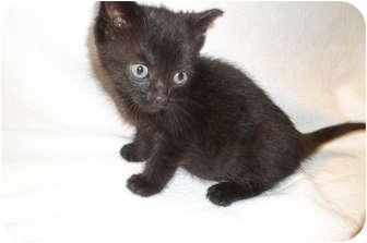 Domestic Shorthair Kitten for adoption in Acme, Pennsylvania - Elvira