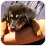 Photo 3 - Rottweiler/Australian Shepherd Mix Puppy for adoption in Prince William County, Virginia - riley
