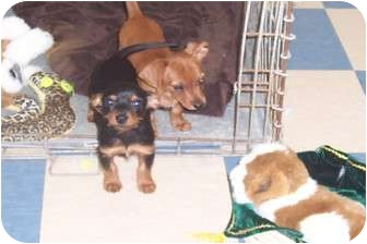 Dachshund/Yorkie, Yorkshire Terrier Mix Puppy for adoption in Terre Haute, Indiana - Hansel & Gretel