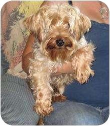 Yorkie, Yorkshire Terrier Dog for adoption in Greenville, Rhode Island - Luigi