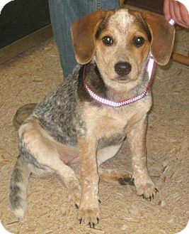 Australian Cattle Dog/Beagle Mix Puppy for adoption in Berea, Ohio - Storm