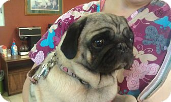 Pug Dog for adoption in Eagle, Idaho - Jazmyn