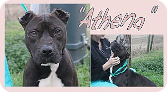 Pit Bull Terrier Mix Dog for adoption in Haughton, Louisiana - Athena