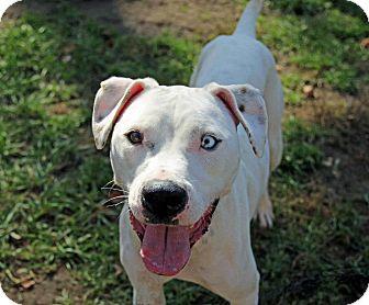 Boxer/Dalmatian Mix Dog for adoption in Tinton Falls, New Jersey - Blue