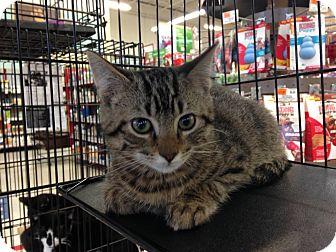 Domestic Shorthair Kitten for adoption in East Brunswick, New Jersey - Lenny