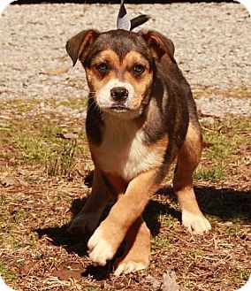 Cattle Dog/Shepherd (Unknown Type) Mix Dog for adoption in Portland, Maine - Angie (Kay)