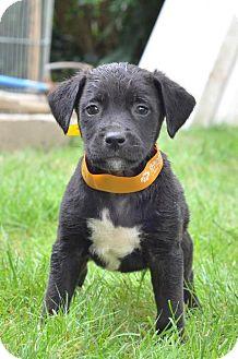 Labrador Retriever/Beagle Mix Puppy for adoption in Danbury, Connecticut - Jin