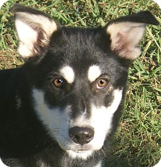 Husky Mix Puppy for adoption in Staunton, Virginia - Nakita