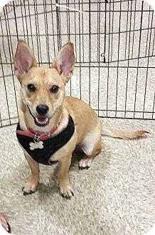 Corgi/Chihuahua Mix Puppy for adoption in Winnetka, California - TWINKIE