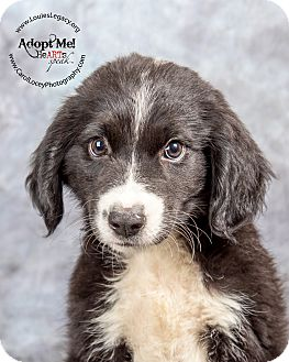 Border Collie/Australian Shepherd Mix Puppy for adoption in Cincinnati, Ohio - Penn