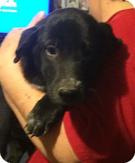 Labrador Retriever Mix Puppy for adoption in Homer, New York - Blair