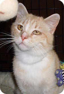 Domestic Shorthair Cat for adoption in Buhl, Idaho - Hopkins