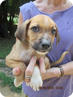 Wirehaired Pointing Griffon/Labrador Retriever Mix Puppy for adoption in Lincolndale, New York - RUPERT
