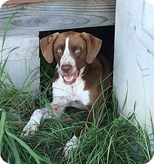 Pointer/Spaniel (Unknown Type) Mix Dog for adoption in Houston, Texas - Hoss