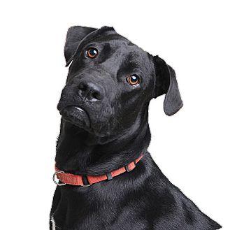 Labrador Retriever/Great Dane Mix Dog for adoption in Wilmington, Delaware - Loki