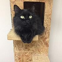 Domestic Longhair Cat for adoption in Fremont, Ohio - Gretchen