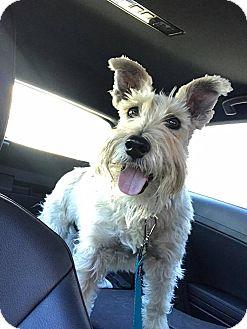 Schnauzer (Standard) Dog for adoption in Las Vegas, Nevada - Murphy