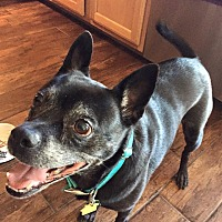 Pug/Chihuahua Mix Dog for adoption in Austin, Texas - Jenny