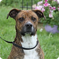 Adopt A Pet :: Diesel (Neutered) - Marietta, OH