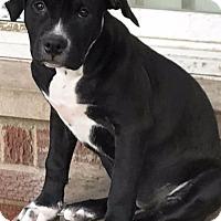 Adopt A Pet :: Celina-Adopted! - Detroit, MI