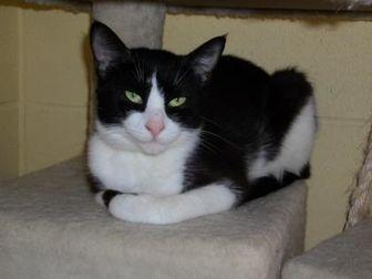 Domestic Shorthair/Domestic Shorthair Mix Cat for adoption in Dothan, Alabama - Duchess