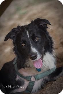 Border Collie Dog for adoption in Freeport, Florida - Bing