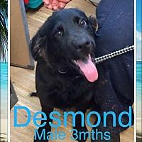 Adopt A Pet :: Desmond - Ringwood, NJ