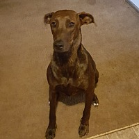 Adopt A Pet :: Daphne (courtesy posting) - Gig Harbor, WA