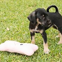 Adopt A Pet :: Brigatta - La Habra Heights, CA