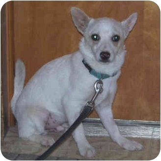Jack Russell Terrier/Chihuahua Mix Puppy for adoption in Falls City, Nebraska - Peek-A-Boo