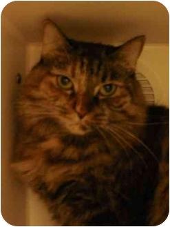 Domestic Mediumhair Cat for adoption in Maywood, New Jersey - Sassy